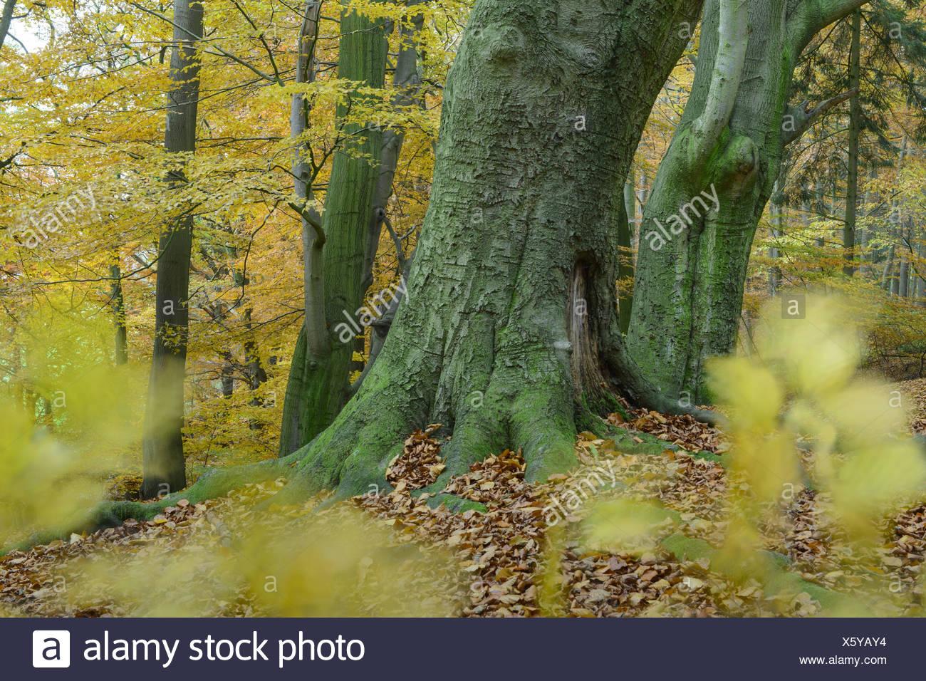 autumn at a beech forest at hunte river near doetlingen, oldenburg district, niedersachsen, germany / herbst in buchewald an der hunte, dötlingen, lan Stock Photo