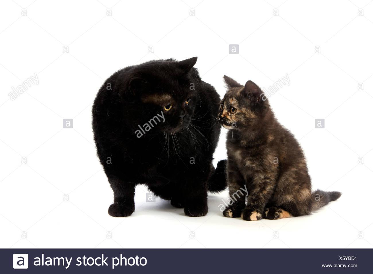 Black British Shorthair Mother and Black Tortoise-shell British Shorthair Kitten, Domestic Cat against White Background Stock Photo