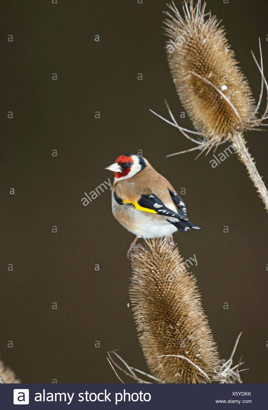 Eurasian goldfinch (Carduelis carduelis), sitting on infructescence of teazle, Germany Stock Photo