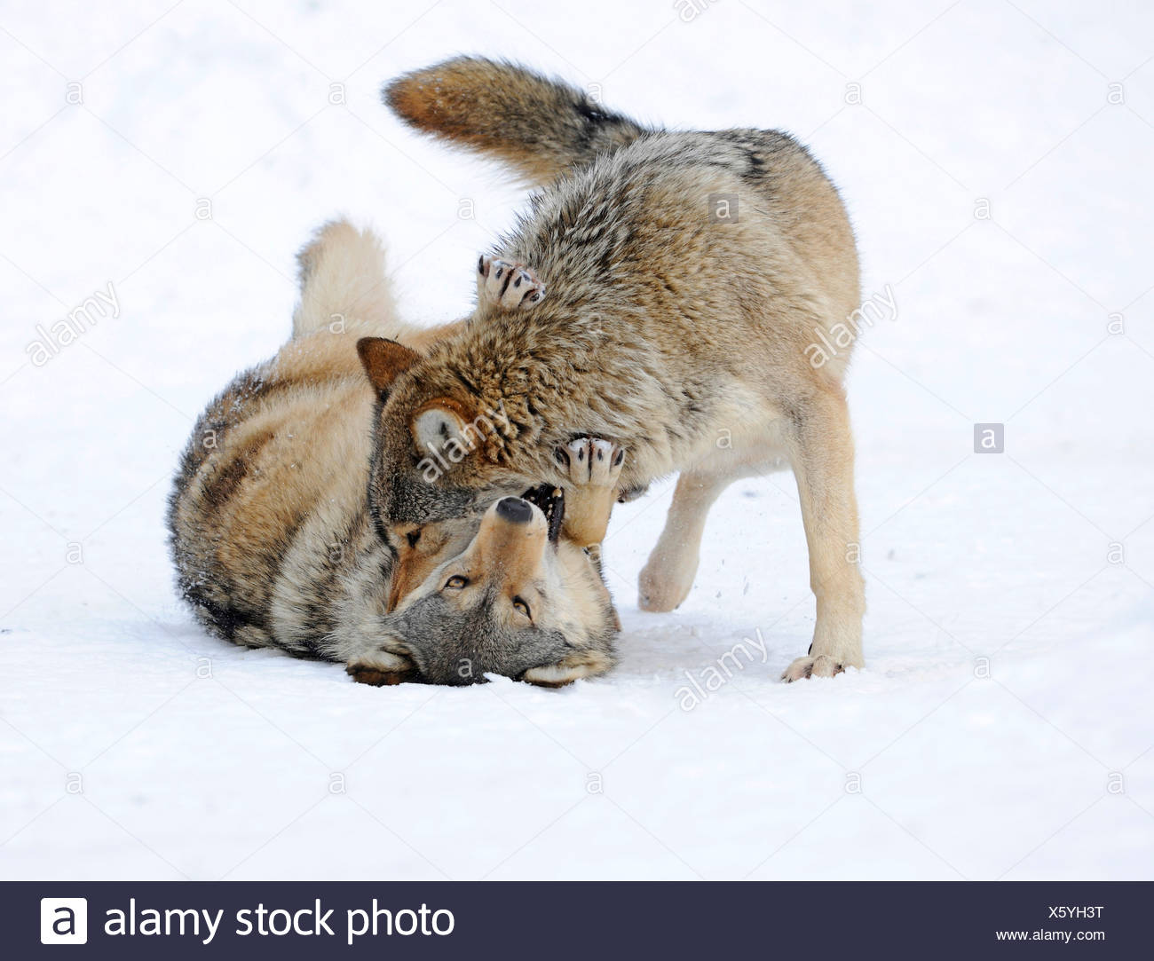 Fighting, playing wolves, cub, Mackenzie Wolf, Alaskan Tundra Wolf or Canadian Timber Wolf (Canis lupus occidentalis) in the Stock Photo