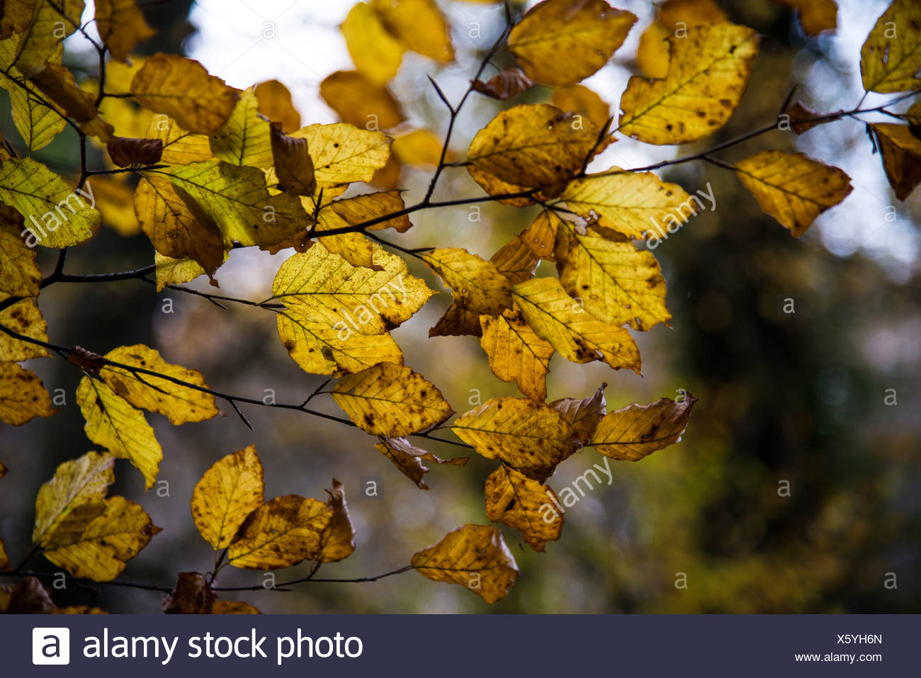 Beech tree foliage in an autumnal forest, Bavaria - Stock Image