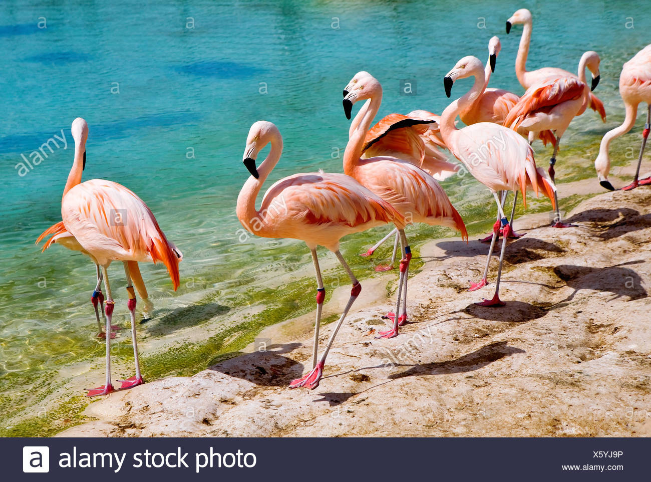 Pink flamingos - Stock Image