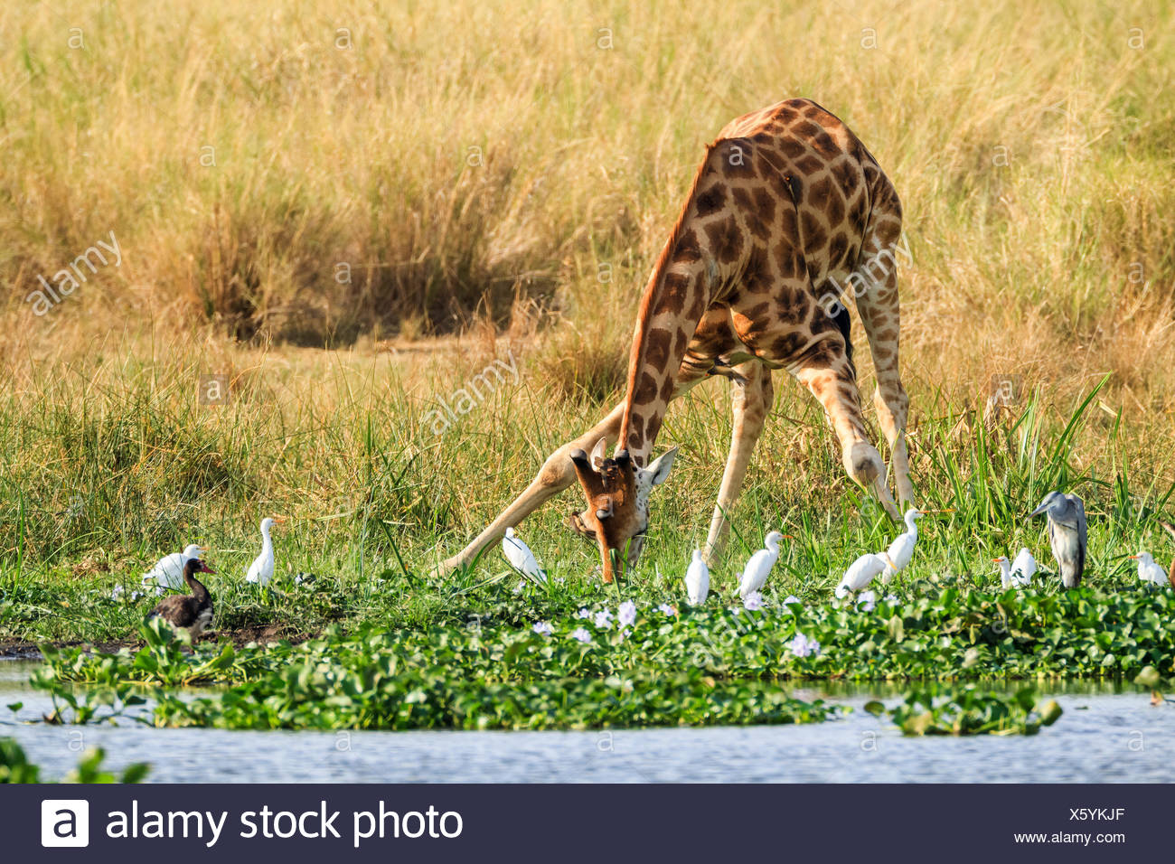 A Rothschild's giraffe, Giraffa camelopardalis rothschildi, drinks at the water's edge surrounded by water birds. - Stock Image