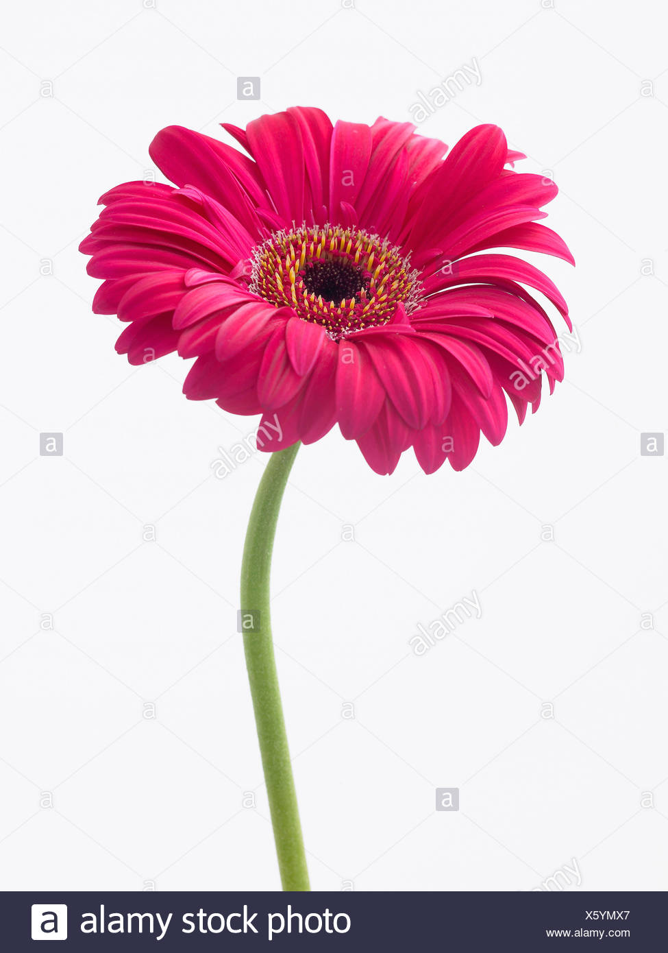 Gerbera Explorer Single Pink Flower On A Stem Against A White