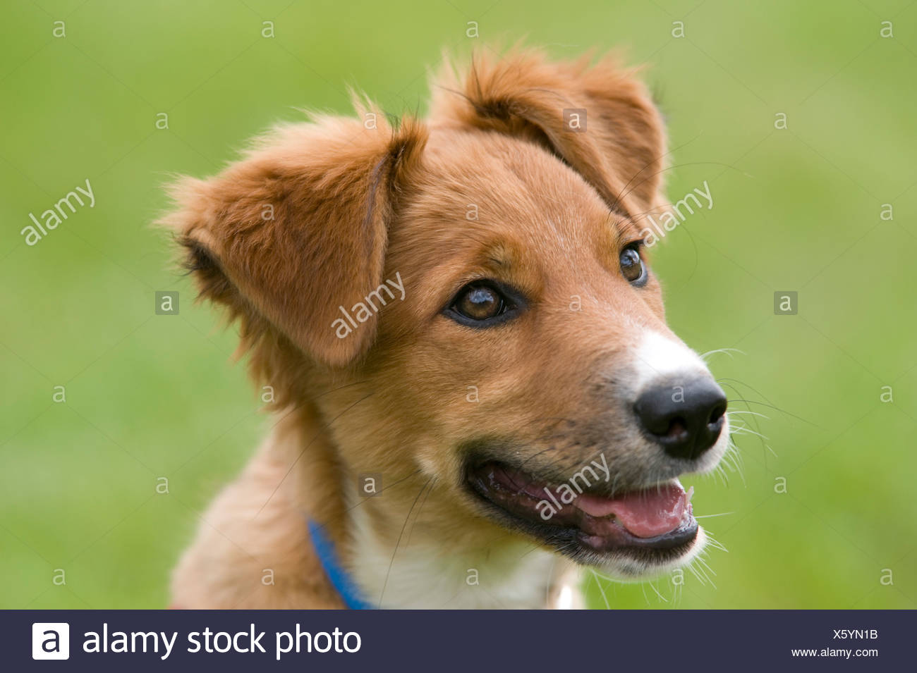 Collie Crossbred Dog Puppy UK - Stock Image
