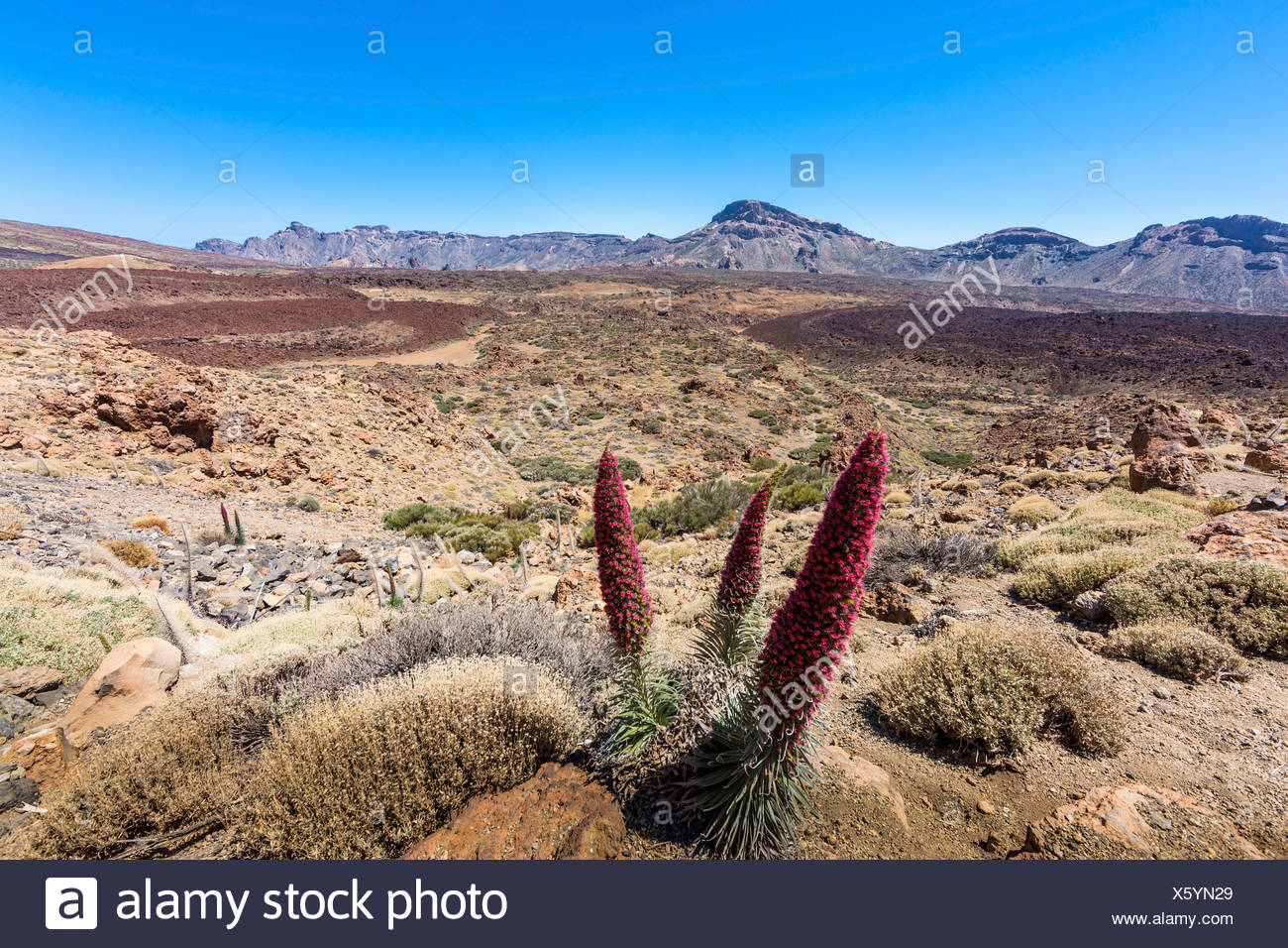 Red flowering Tower of Jewels or Tenerife Bugloss (Echium wildpretii) in the Parque Nacional de las Cañadas del Teide, Teide - Stock Image