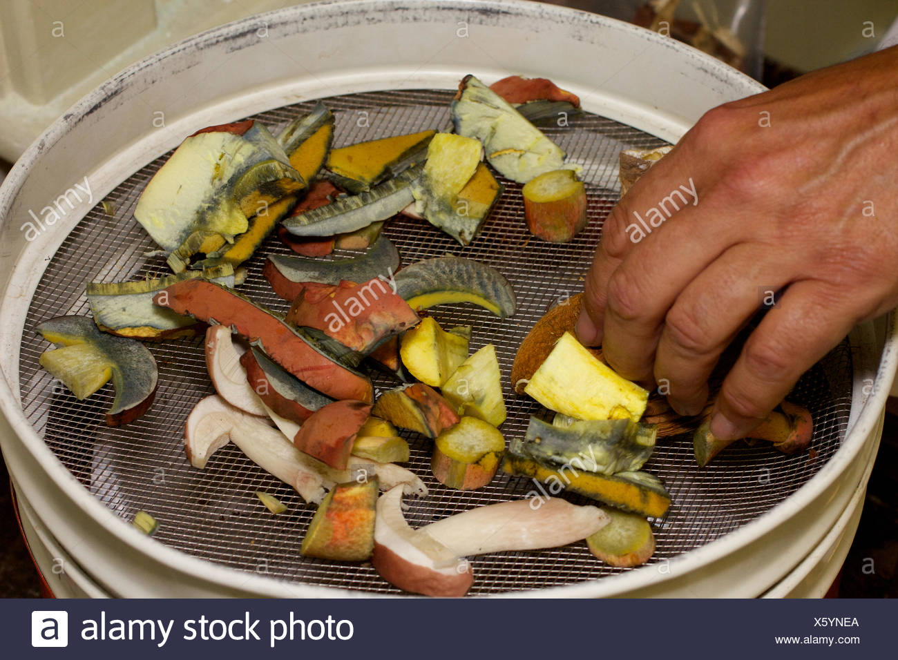 Various cut Bolete mushrooms in a dehydrating set-up for preservation for eating. - Stock Image