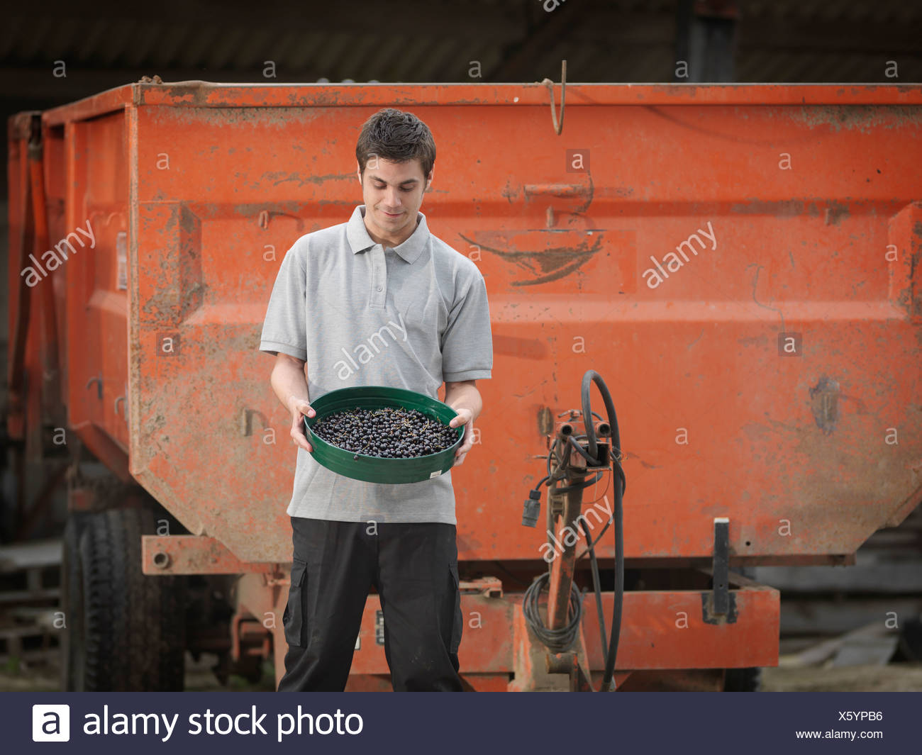 Man And Tray Of Harvested Black Currants - Stock Image