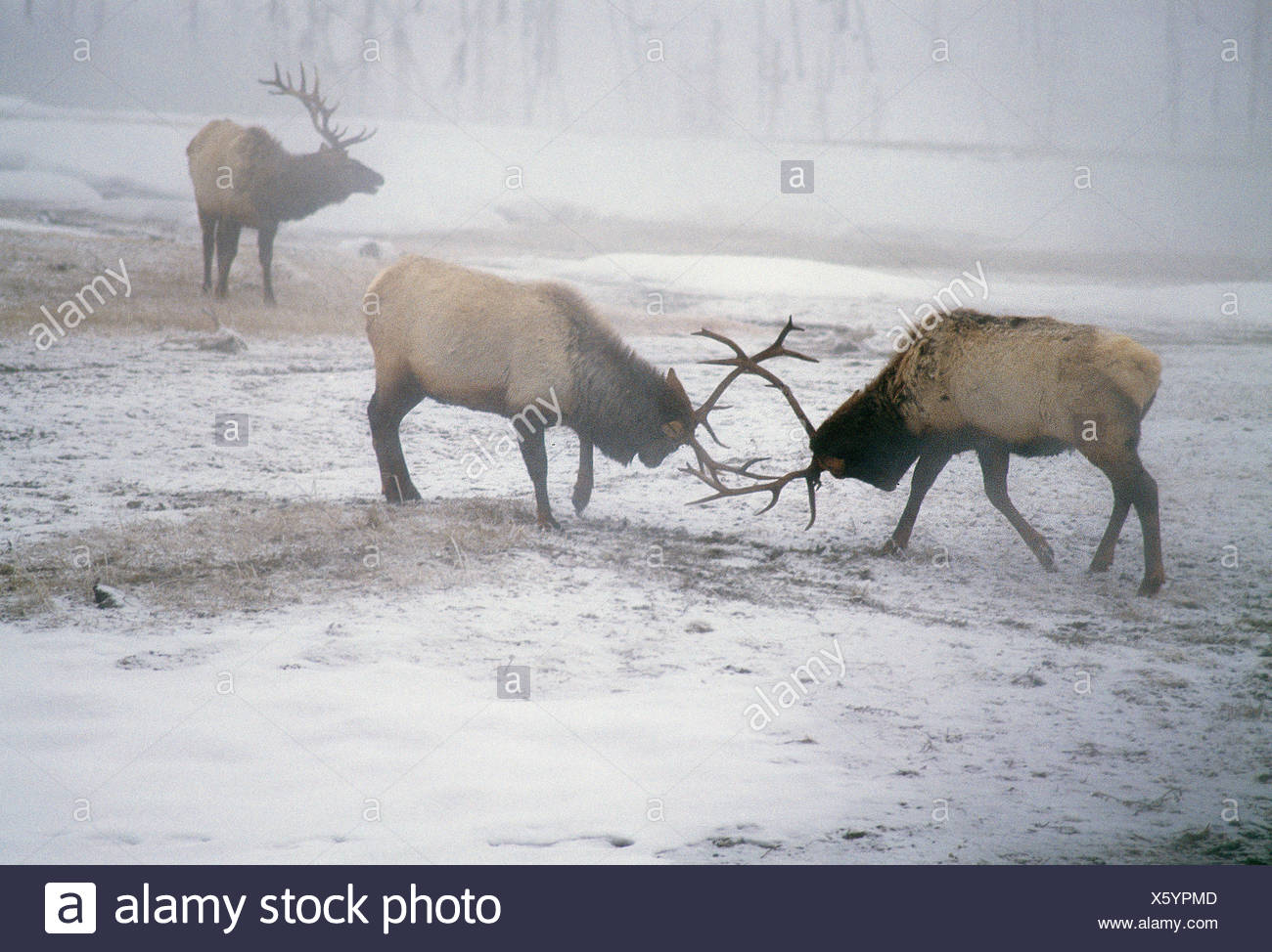 Usa Wyoming Yellowstone National Park Wildlife Elk