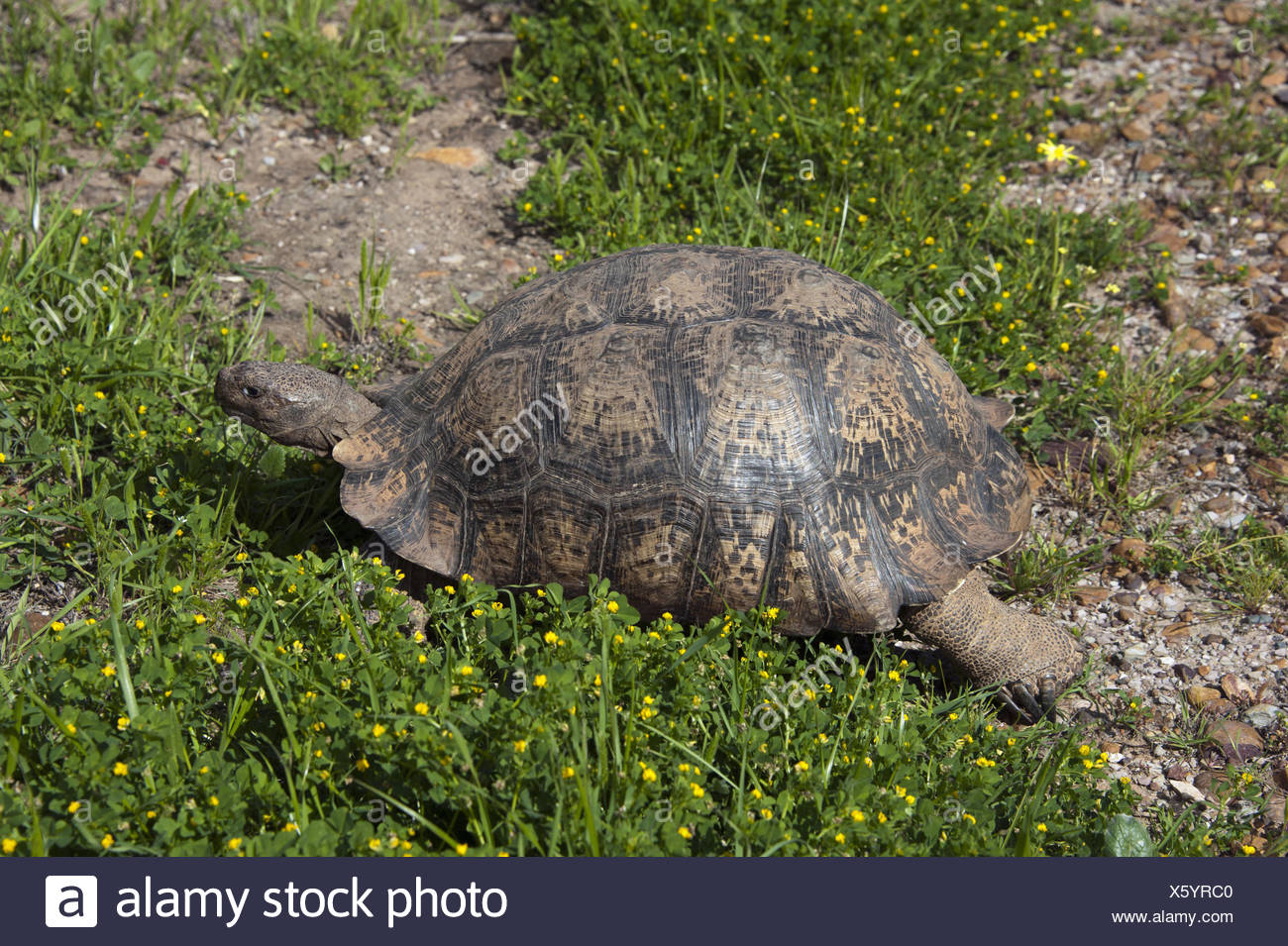 leopard tortoise (Geochelone pardalis), in a meadow, South Africa, Western Cape - Stock Image