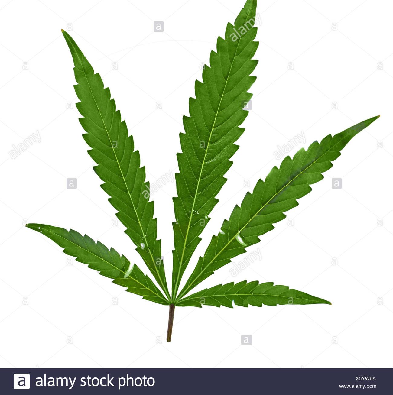 Cannabis leaf optional - Stock Image
