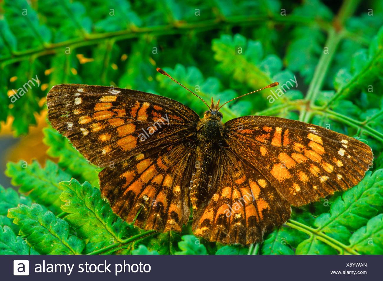 Harris' Checkerspot Butterfly, (Charidryas harrisii) - Stock Image