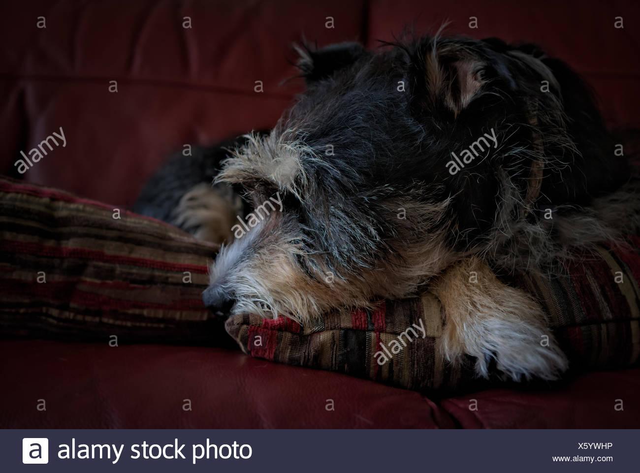 Dog Sleeping On Sofa - Stock Image