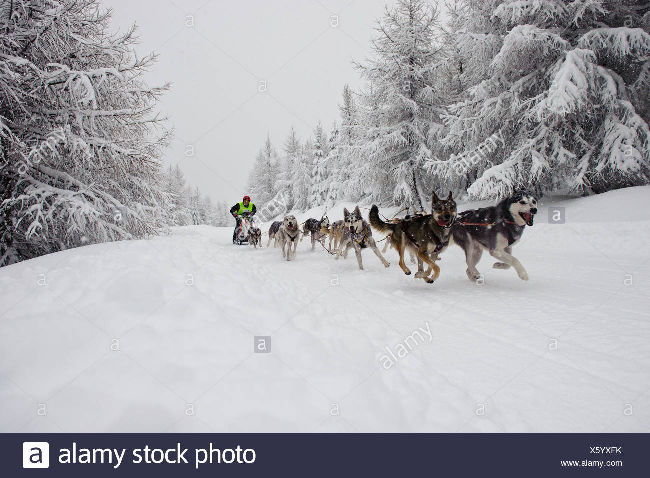 Dog Sled team racing in Jakuszyce, Poland. - Stock Image