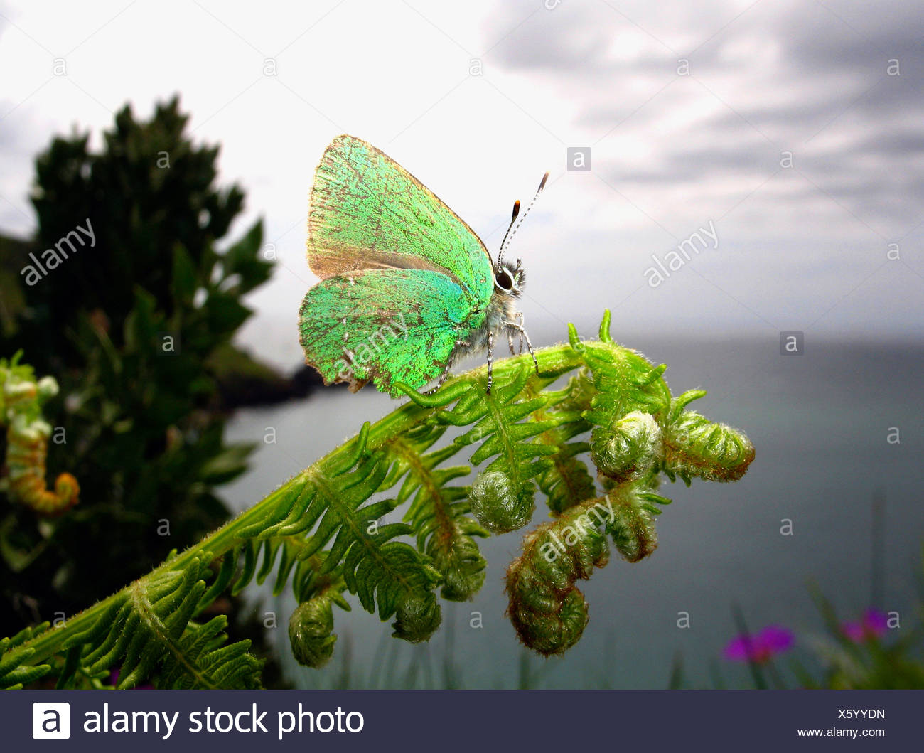 Green Hairstreak Butterfly perched on a fern, Devon Coast, UK. - Stock Image