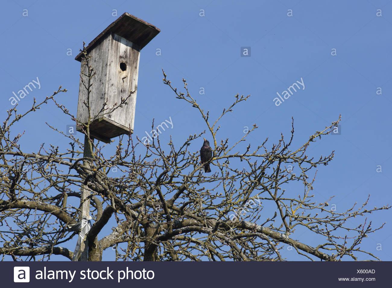 Sturnus vulgaris, Starling, near birdhouse - Stock Image