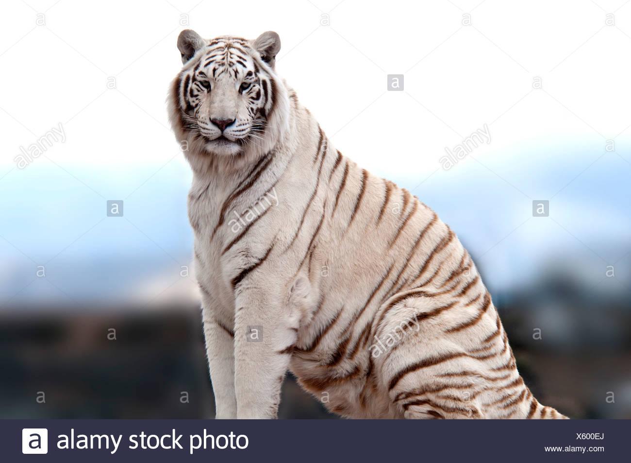 White Tiger Stock Photos & White Tiger Stock Images - Alamy