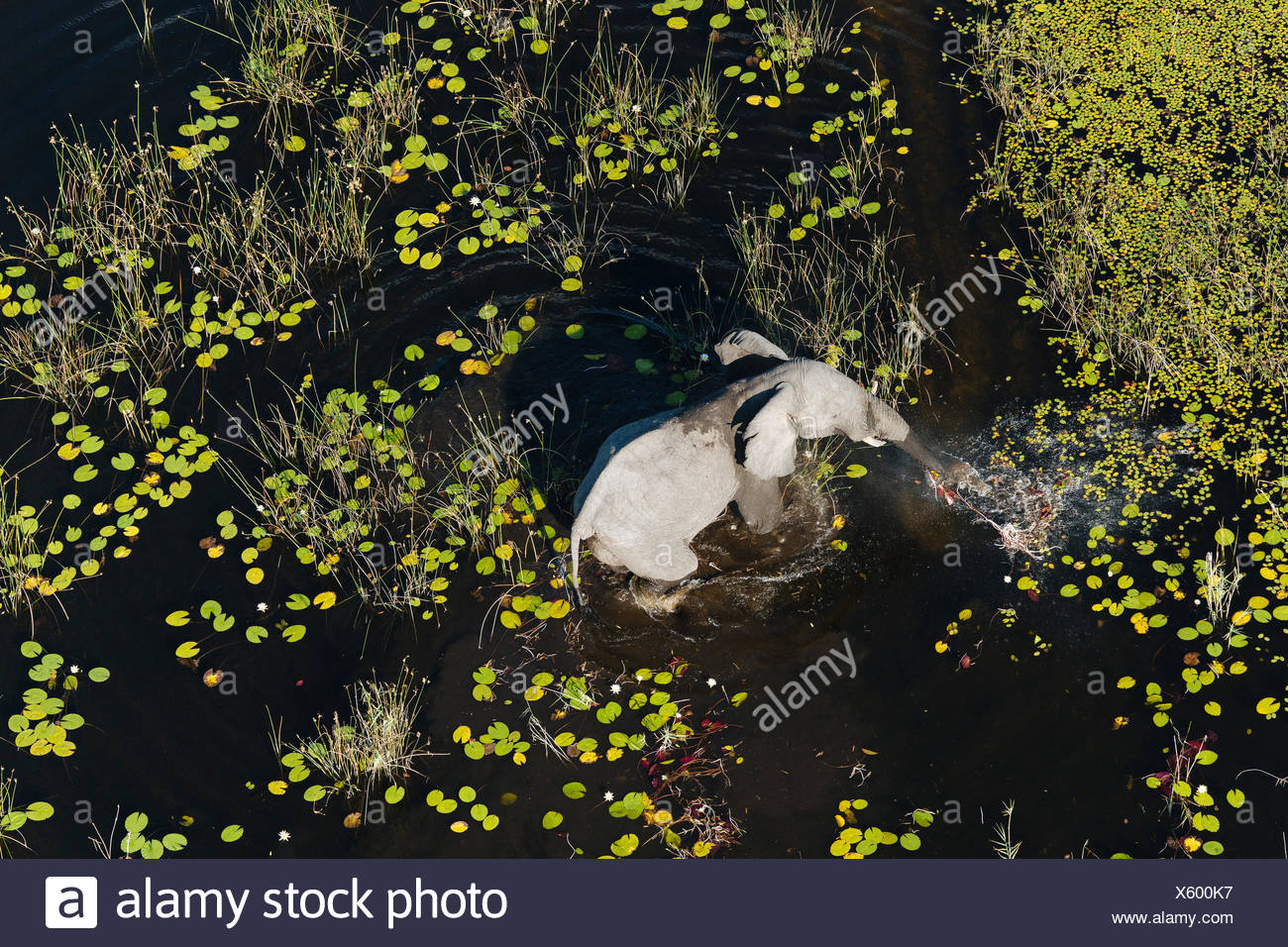 An aerial view of an African elephant, Loxodonta africana, walking in a flood plain. - Stock Image