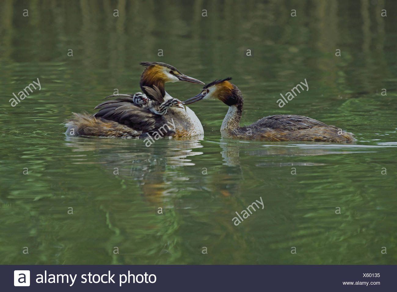 Crested Grebe pair with juveniles - Stock Image