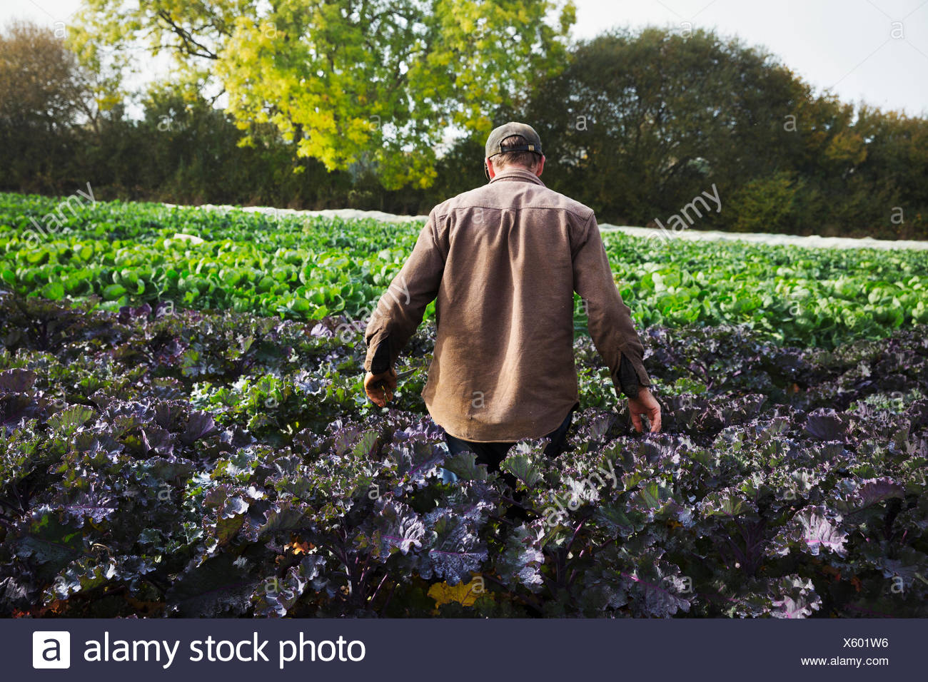A man walking through a field full of growing crops on a small farm. Stock Photo