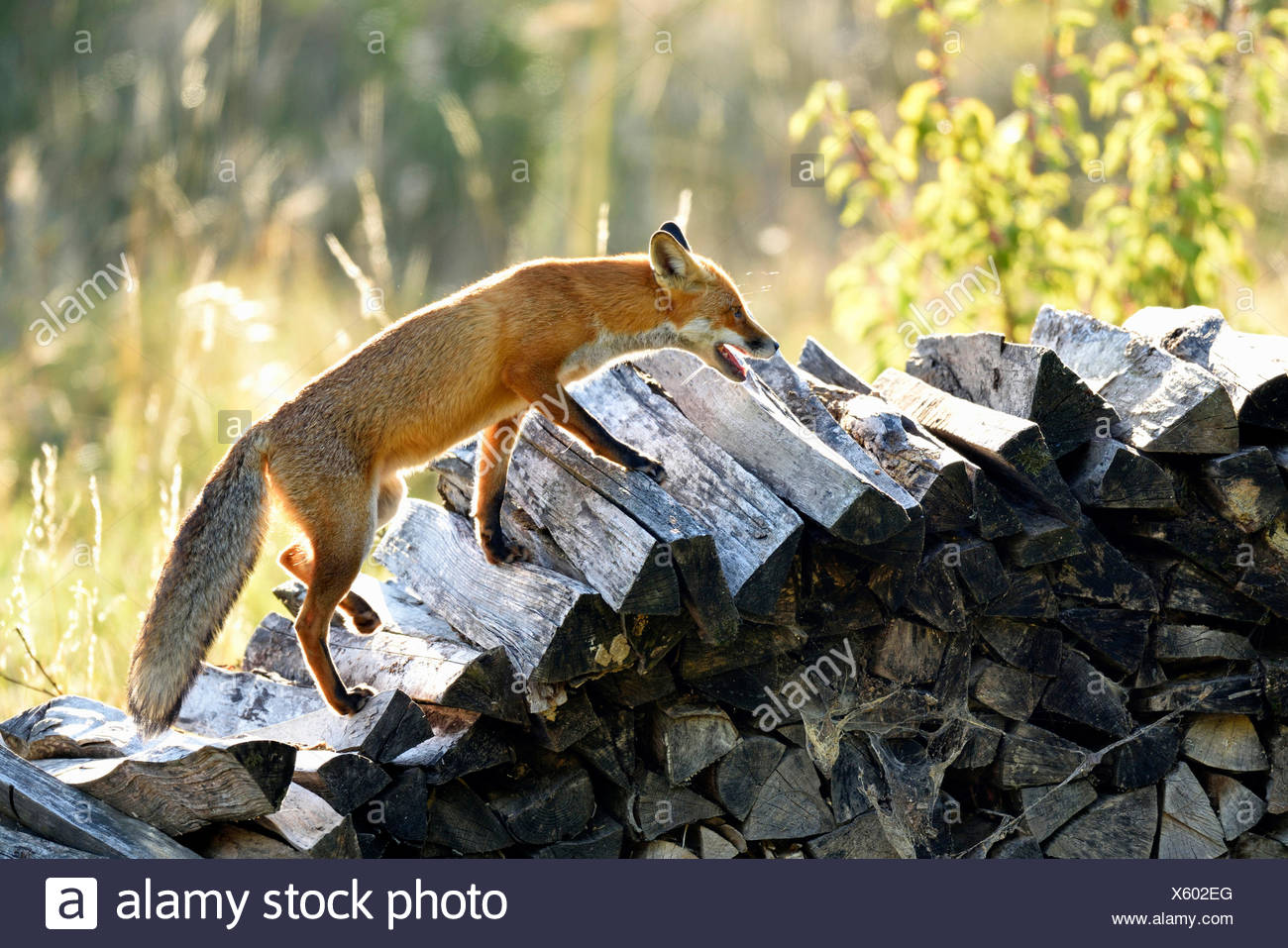 Red fox (Vulpes vulpes) walking along a wood pile, Canton of Zurich, Switzerland - Stock Image