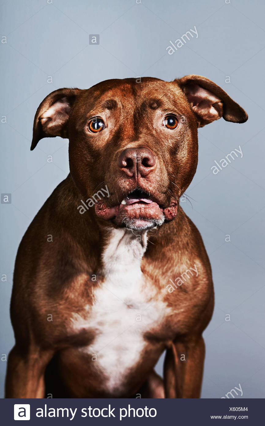 Portrait of a pitbull - Stock Image