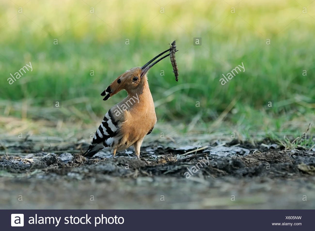 hoopoe with dragonflies larvae Stock Photo