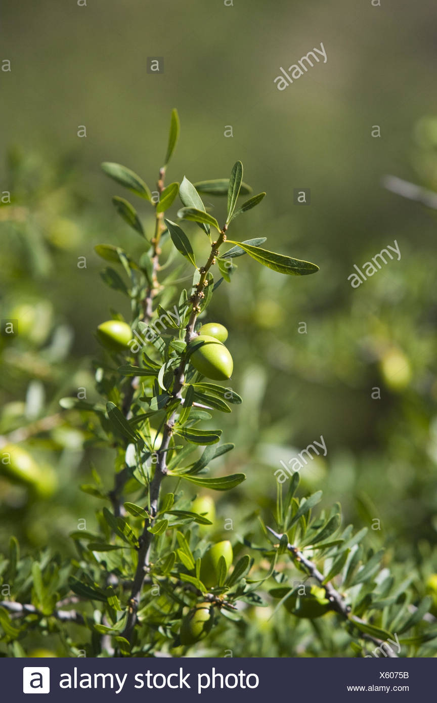 Marokko, Arganbaum, Früchte, Nahaufnahme, - Stock Image