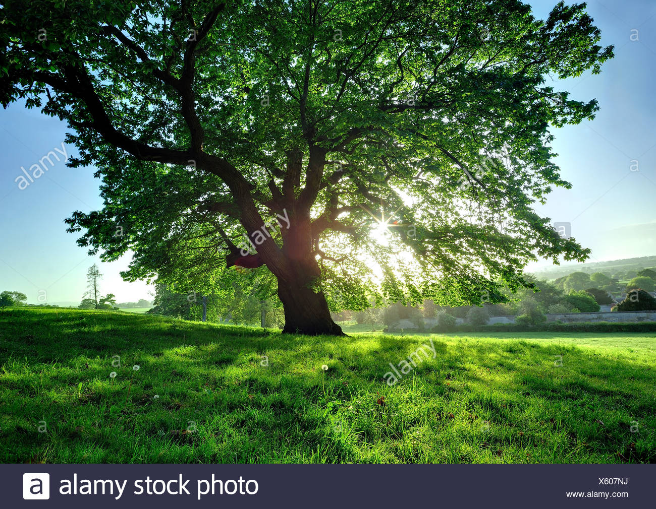 Tree in bright sunlight - Stock Image