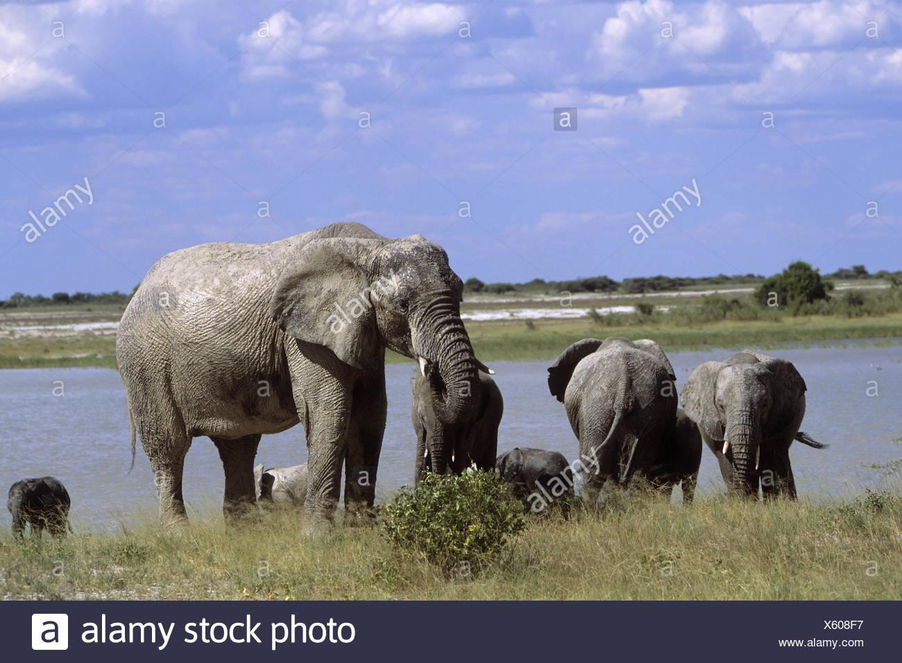 elephants - Stock Image
