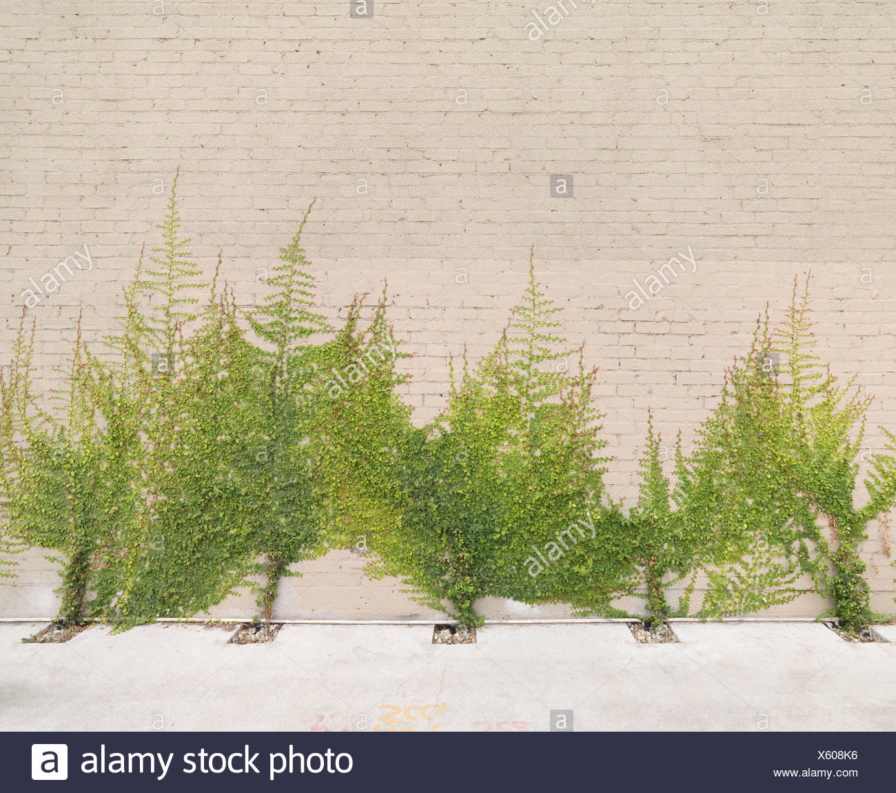 Tree-like Ivy growing on wall - Stock Image
