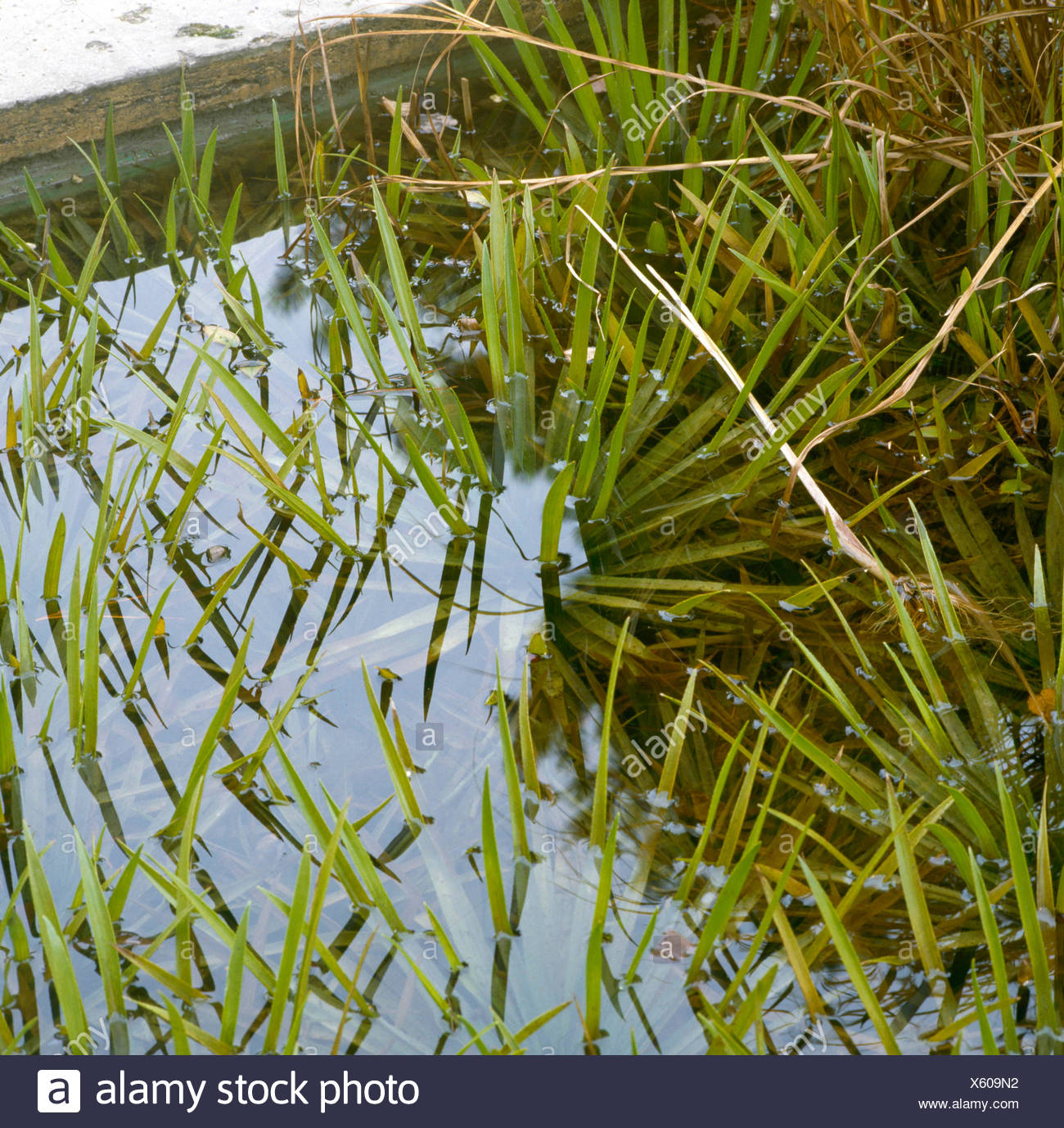 Stratiotes aloides - Water Soldiers   WPL046968 - Stock Image