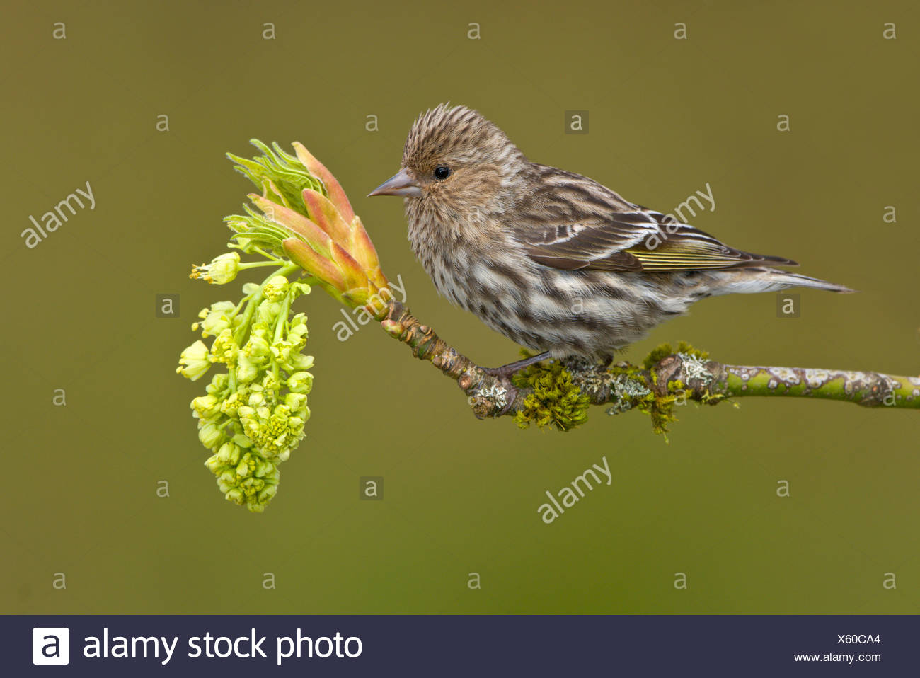 Pine siskin (Carduelis pinus) perched on a budding maple tree branch, Victoria, Vancouver Island, British Columbia, Canada - Stock Image
