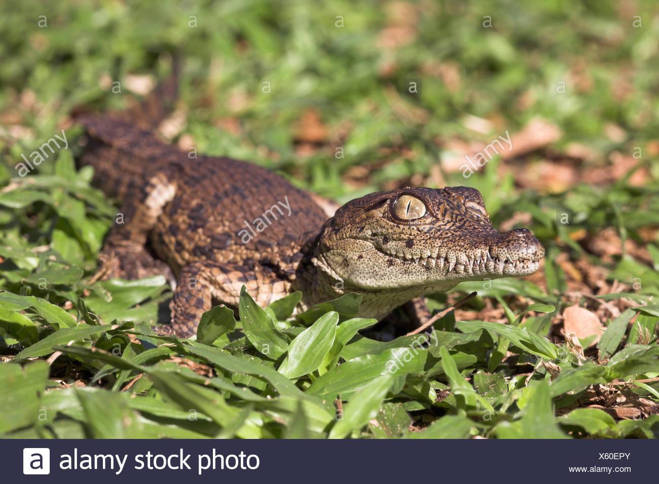 Photo of a nile crocodile hatchling - Stock Image