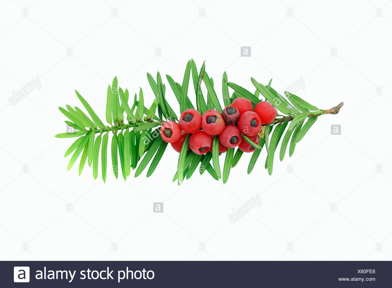 Yew (Taxus baccata), twig with berries, poisonous plant, North Rhine-Westphalia - Stock Image