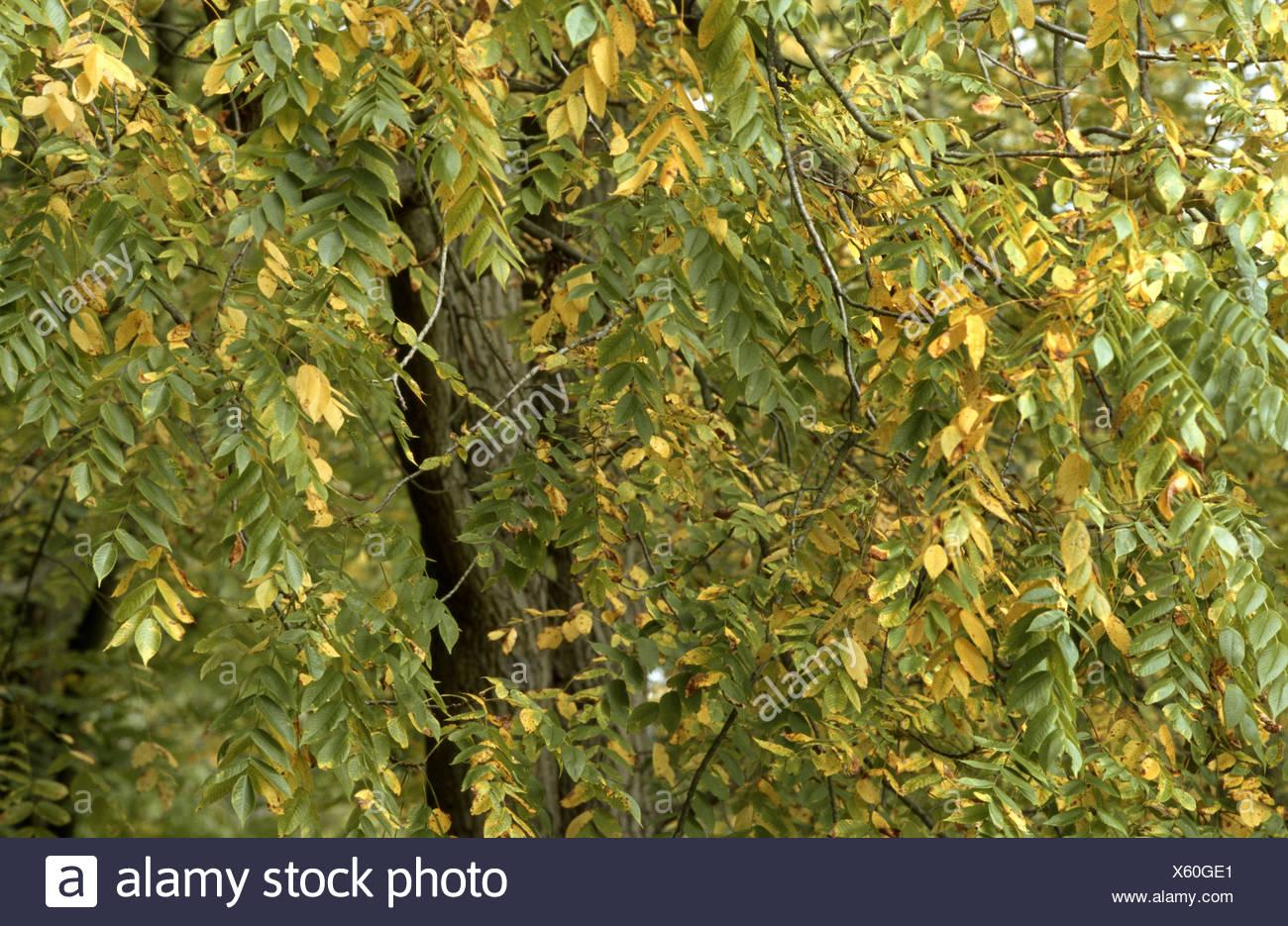 bitter-nut hickory, bitternut hockory (Carya cordiformis), begining autumnal colouration Stock Photo