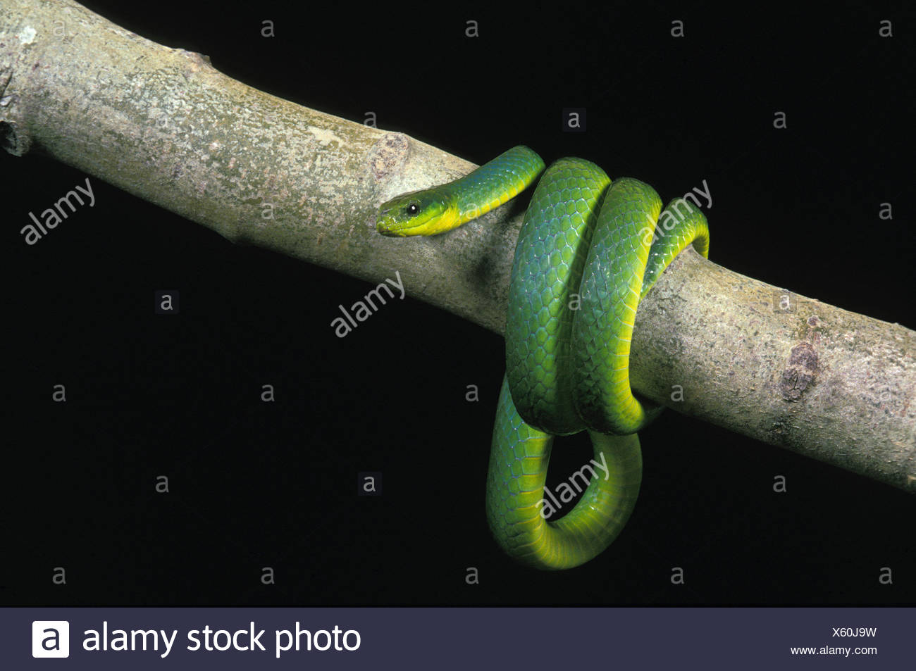 Green Snake, opheodrys major against Black Background Stock Photo