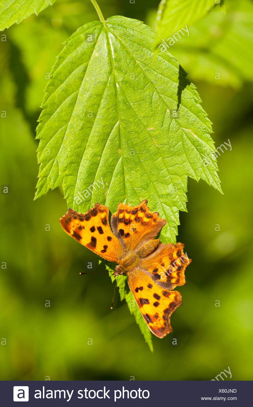 comma (Polygonia c-album, Comma c-album, Nymphalis c-album), sitting on a leaf, Germany, Bavaria - Stock Image