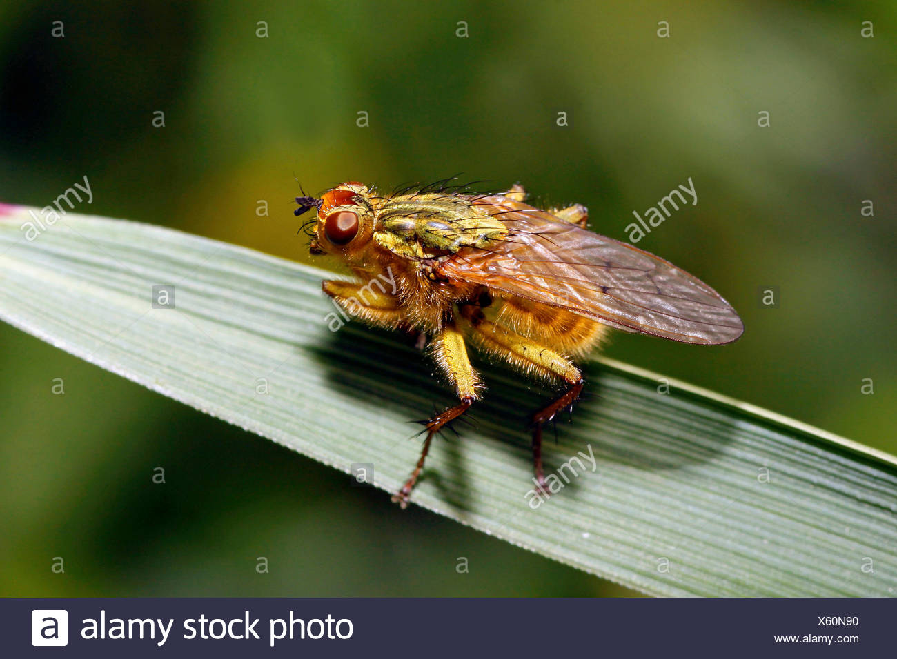 Yellow dungfly, Yellow dung fly, Golden dung fly (Scathophaga stercoraria), sitting on a leaf, Germany - Stock Image