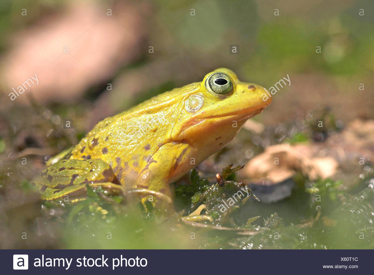photo of a bright green male pool frog during breeding season - Stock Image