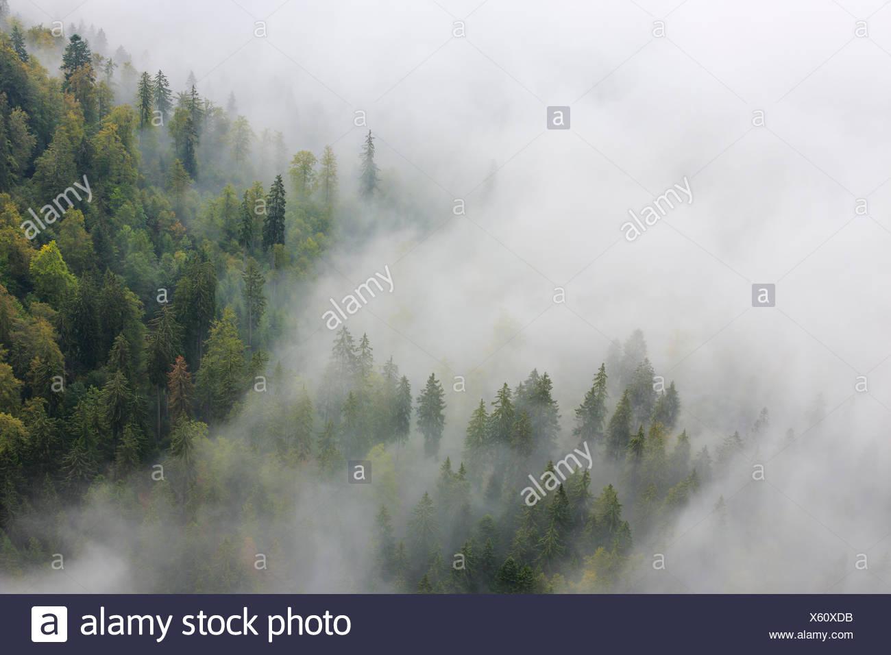 Tree, trees, spruce, spruces, spruce forest, Jura, nature, fog, fog patches, canton Neuenburg, Neuenburg Jura, plant, Switzerland - Stock Image