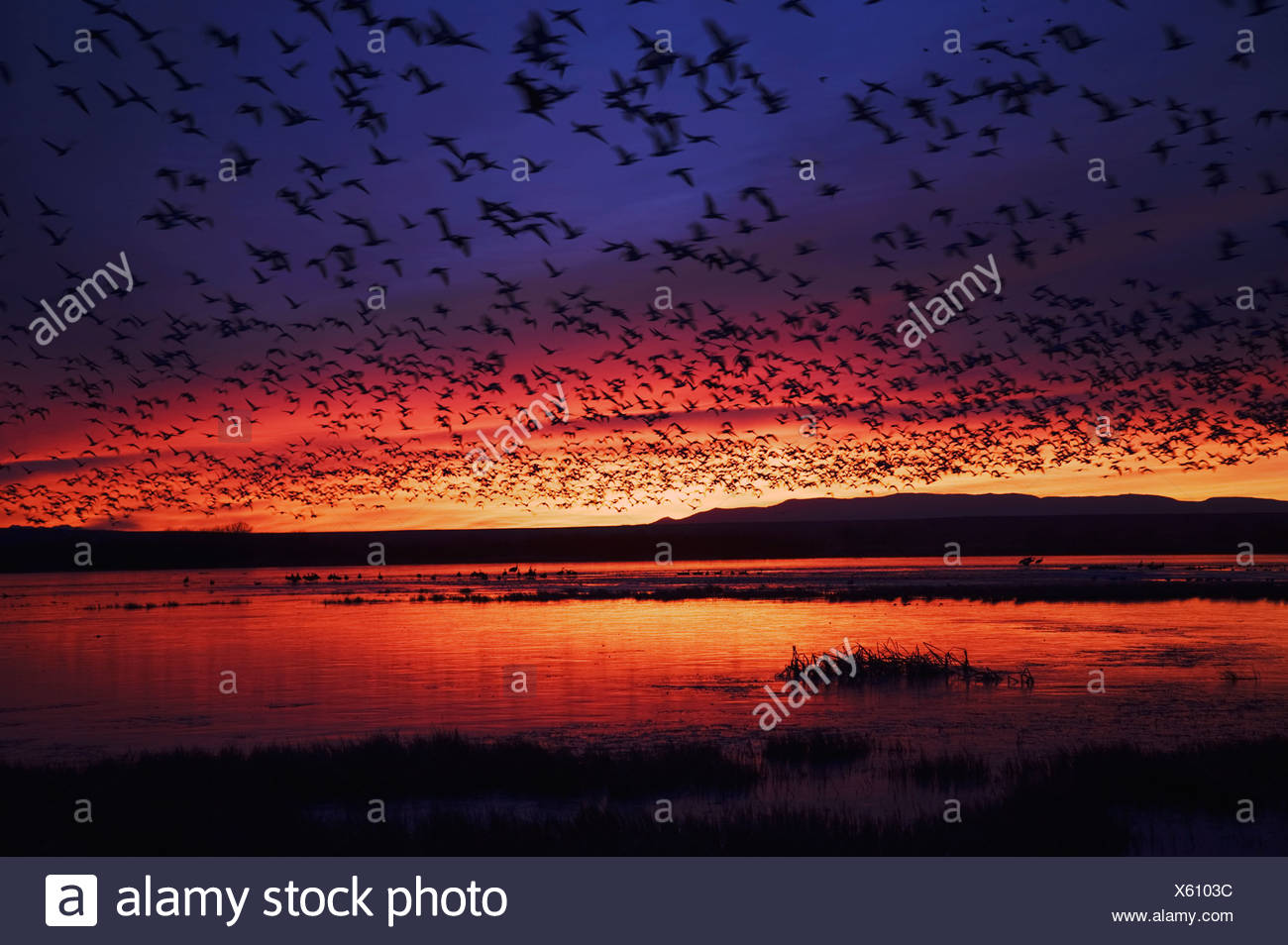 Snow Goose Chen caerulescens flock lifting off at sunrise Bosque del Apache National Wildlife Refuge New Mexico USA - Stock Image