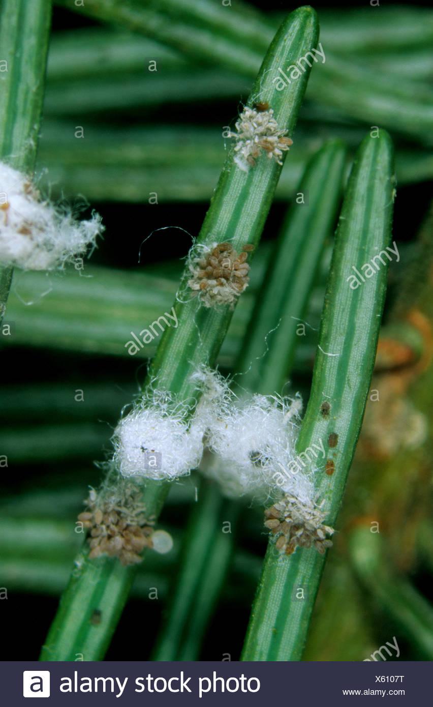 Douglas fir adelges Adelges cooleyi adelges infestation on conifer needles - Stock Image