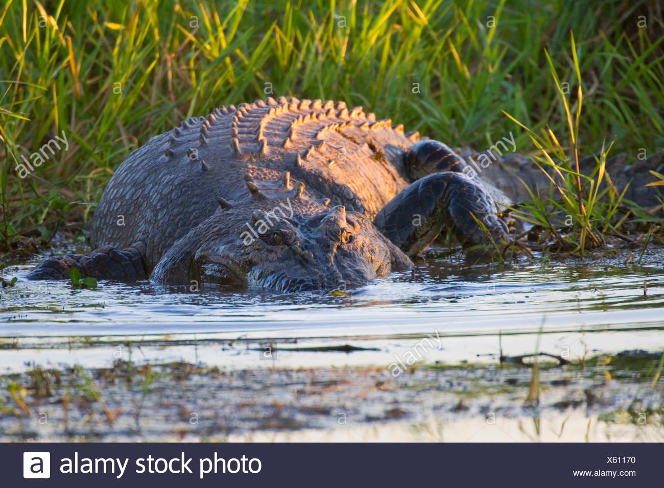 saltwater crocodile, estuarine crocodile (Crocodylus porosus), big Saltwater Crocodile lying in wait for prey in a billabong in a swamp, Australia, Northern Territory Stock Photo