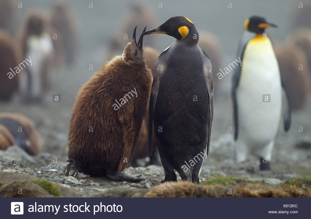 King Penguin with chick, Macquarie Island, Southern Ocean Stock Photo