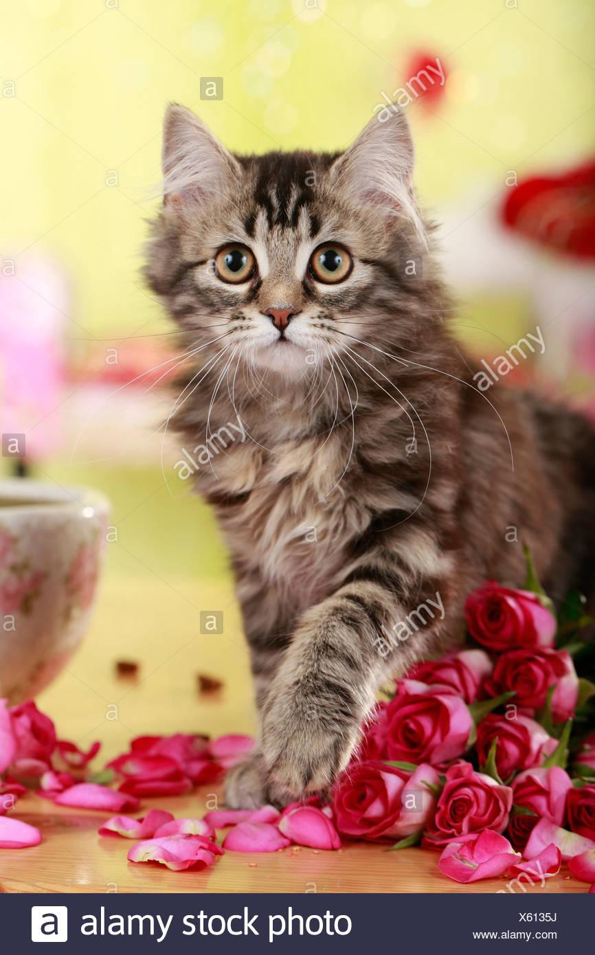 German Angora Cat Kitten Rose Stock Photos German Angora Cat
