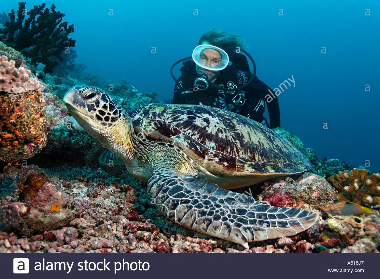 Scuba diver, Green Merress turtle (Chelonia mydas), Indian Ocean, Maldives - Stock Image