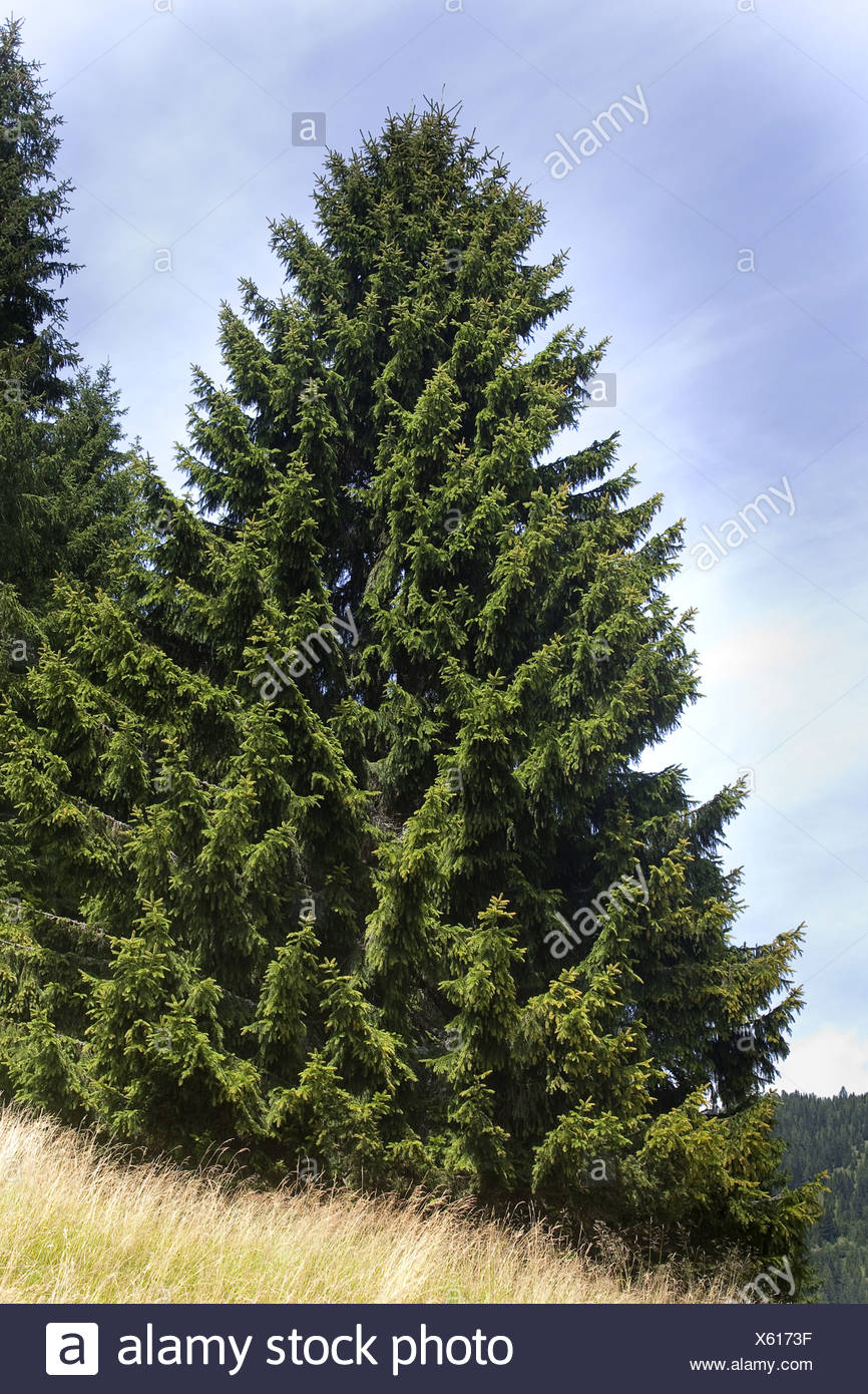 Norway spruce (Picea abies), single tree, Germany - Stock Image