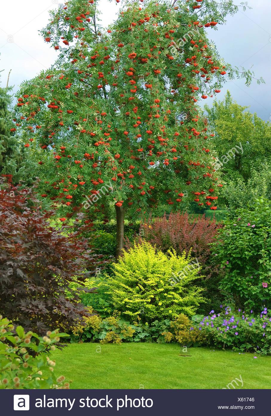 European mountain-ash, rowan tree (Sorbus aucuparia 'Rosina', Sorbus aucuparia Rosina), cultivar Rosina in a garden, Germany - Stock Image