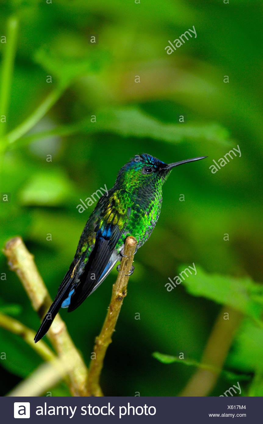 hummingbird bird tropics Parque das aves Foz do Iguazu Iguacu Iguassu Falls Parana Brazil - Stock Image